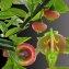 Jean-Louis CHEYPE - Vaccinium myrtillus L.