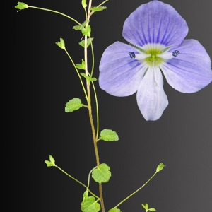 Photographie n°30044 du taxon Veronica filiformis Sm.