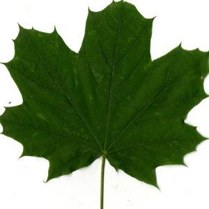 Photographie n°30070 du taxon Acer platanoides L.