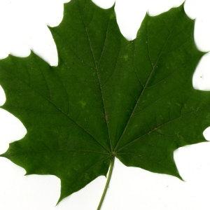 Photographie n°30071 du taxon Acer platanoides L.