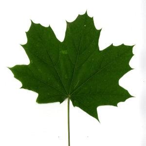 Photographie n°30072 du taxon Acer platanoides L.