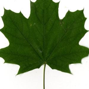 Photographie n°30073 du taxon Acer platanoides L.