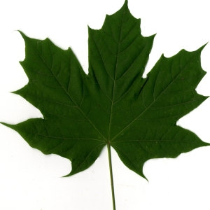 Photographie n°30074 du taxon Acer platanoides L.