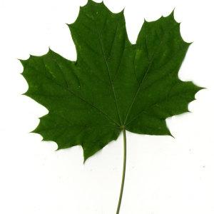 Photographie n°30075 du taxon Acer platanoides L.
