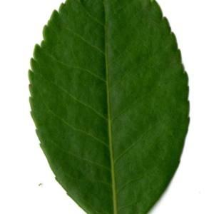 Photographie n°30089 du taxon Arbutus unedo L. [1753]
