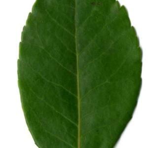 Photographie n°30090 du taxon Arbutus unedo L. [1753]