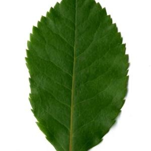 Photographie n°30091 du taxon Arbutus unedo L. [1753]