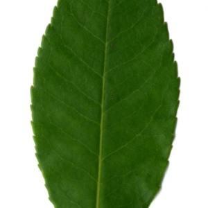 Photographie n°30093 du taxon Arbutus unedo L. [1753]
