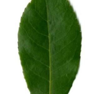 Photographie n°30095 du taxon Arbutus unedo L. [1753]
