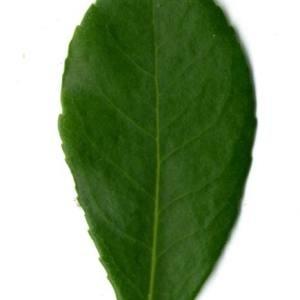 Photographie n°30096 du taxon Arbutus unedo L. [1753]