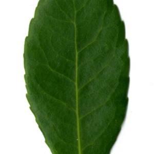 Photographie n°30097 du taxon Arbutus unedo L. [1753]