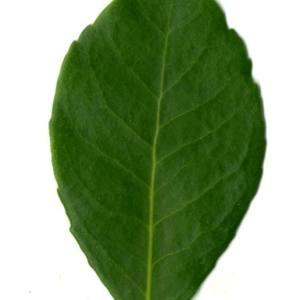 Photographie n°30098 du taxon Arbutus unedo L. [1753]