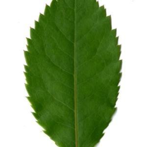 Photographie n°30099 du taxon Arbutus unedo L. [1753]