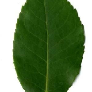 Photographie n°30100 du taxon Arbutus unedo L. [1753]