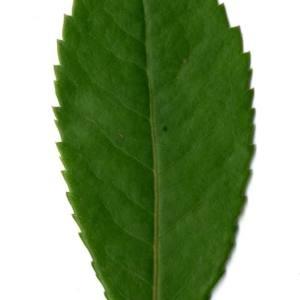 Photographie n°30101 du taxon Arbutus unedo L. [1753]