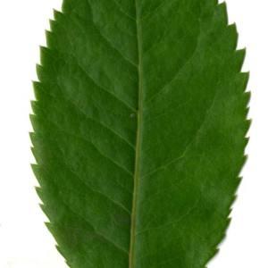 Photographie n°30102 du taxon Arbutus unedo L. [1753]