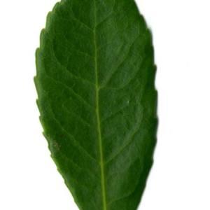 Photographie n°30103 du taxon Arbutus unedo L. [1753]
