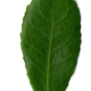 Photographie n°30104 du taxon Arbutus unedo L. [1753]