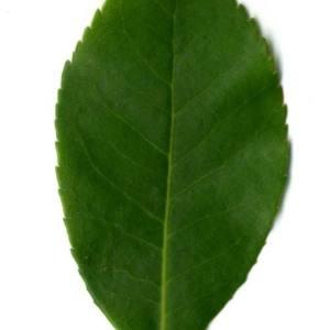 Photographie n°30106 du taxon Arbutus unedo L. [1753]
