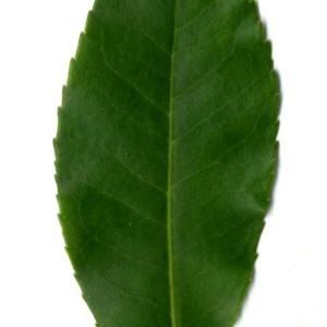 Photographie n°30107 du taxon Arbutus unedo L. [1753]