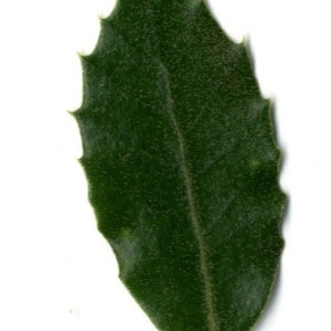 Photographie n°30309 du taxon Quercus ilex L. [1753]