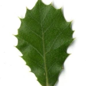Photographie n°30312 du taxon Quercus ilex L. [1753]