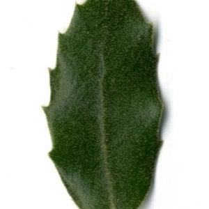 Photographie n°30313 du taxon Quercus ilex L. [1753]