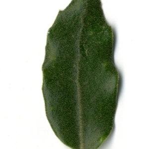 Photographie n°30314 du taxon Quercus ilex L. [1753]