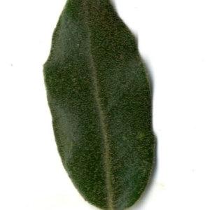 Photographie n°30316 du taxon Quercus ilex L. [1753]