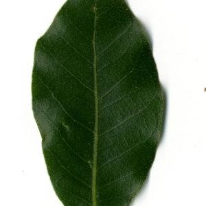 Photographie n°30317 du taxon Quercus ilex L. [1753]