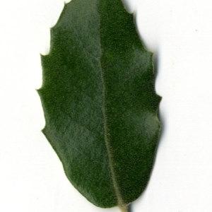 Photographie n°30318 du taxon Quercus ilex L. [1753]