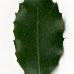 Photographie n°30321 du taxon Quercus ilex L. [1753]