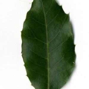 Photographie n°30322 du taxon Quercus ilex L. [1753]