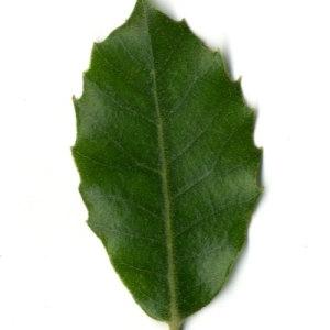 Photographie n°30323 du taxon Quercus ilex L. [1753]