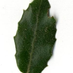 Photographie n°30324 du taxon Quercus ilex L. [1753]