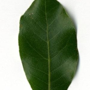 Photographie n°30326 du taxon Quercus ilex L. [1753]