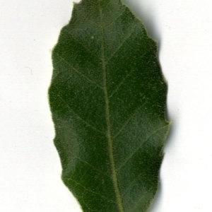 Photographie n°30328 du taxon Quercus ilex L. [1753]