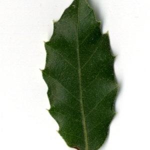Photographie n°30329 du taxon Quercus ilex L. [1753]