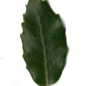 Photographie n°30330 du taxon Quercus ilex L. [1753]