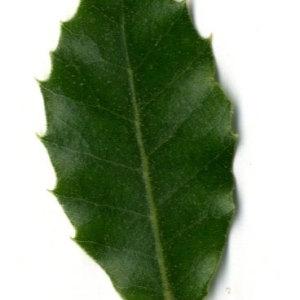 Photographie n°30331 du taxon Quercus ilex L. [1753]