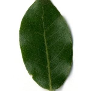Photographie n°30332 du taxon Quercus ilex L. [1753]