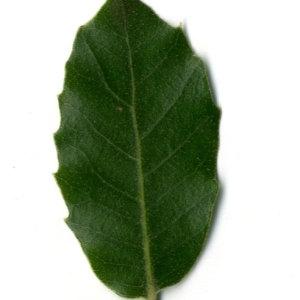 Photographie n°30333 du taxon Quercus ilex L. [1753]