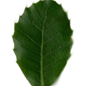 Photographie n°30334 du taxon Quercus ilex L. [1753]