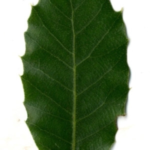 Photographie n°30335 du taxon Quercus ilex L. [1753]