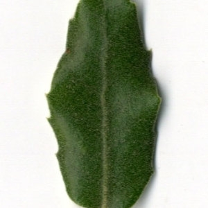 Photographie n°30336 du taxon Quercus ilex L. [1753]