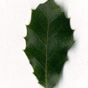Photographie n°30337 du taxon Quercus ilex L. [1753]