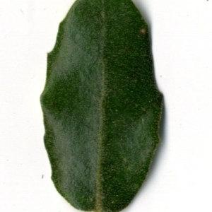 Photographie n°30338 du taxon Quercus ilex L. [1753]