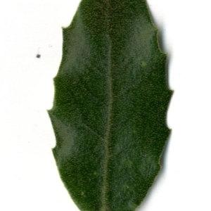 Photographie n°30339 du taxon Quercus ilex L. [1753]