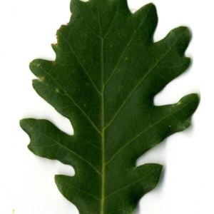Photographie n°30341 du taxon Quercus pubescens Willd. [1805]