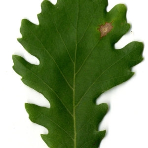 Photographie n°30342 du taxon Quercus pubescens Willd. [1805]